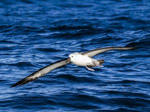 Полет альбатроса