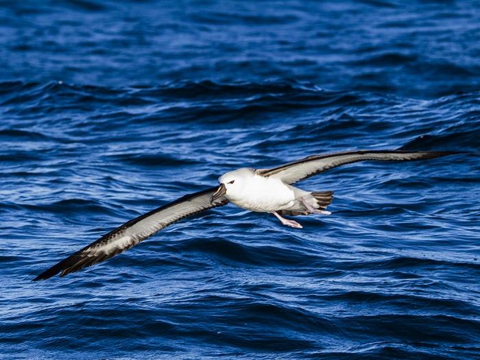Интересные факты об альбатросах. 12-ть фактов об альбатросе