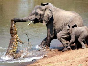 Нападение крокодила на слона