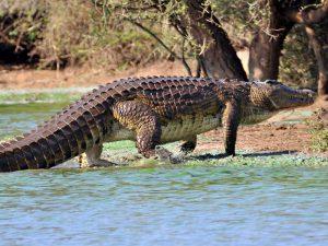 Один из самых крупных крокодилов