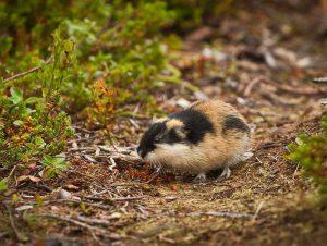 Норвежский (Lemmus lemmus)