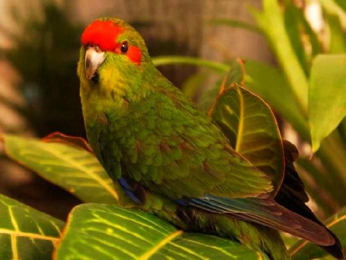 Новозеландский попугай