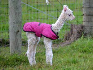 Одежка для альпако
