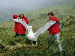 Огромный альбатрос