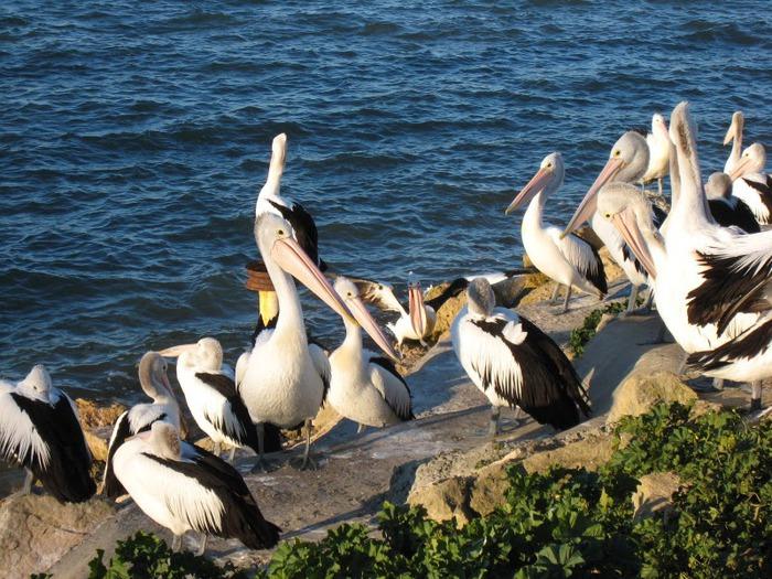 Пеликаны из бухты Пеликанов
