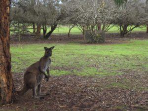 Островой кенгуру