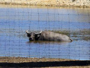 Островные буйволы