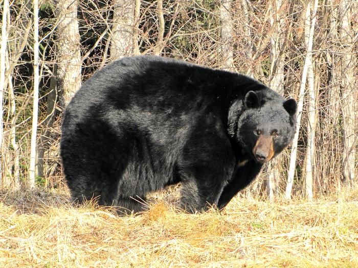 Фото-медведя-барибала-Лучшие-фото-7