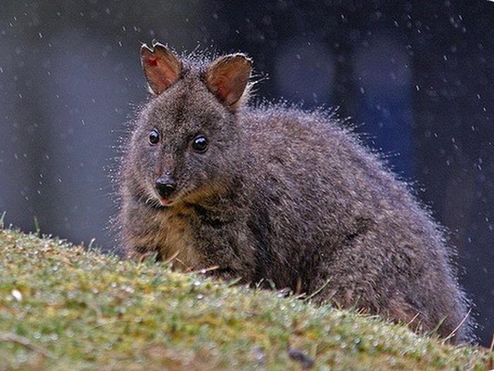 Падемелон из Тасмании