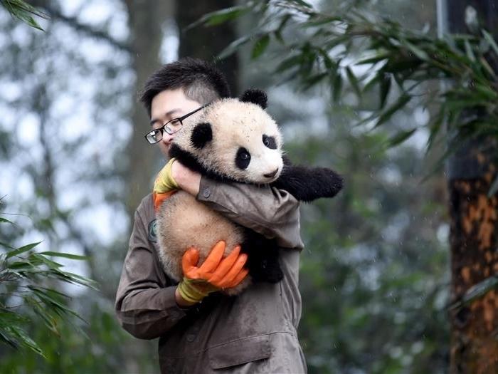 Нянька для панды