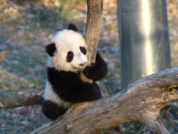 Асана панды
