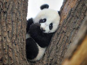 Дерево — дом панды