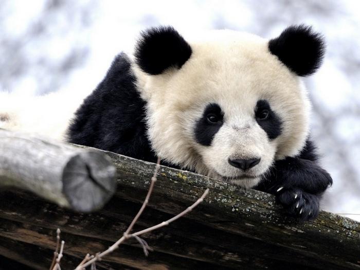 Медлительная панда