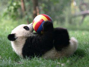 Игривая панда