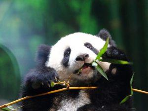 Панда под защитой