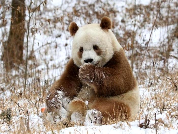 Панда в снегу
