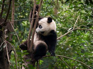 Панда верхолаз