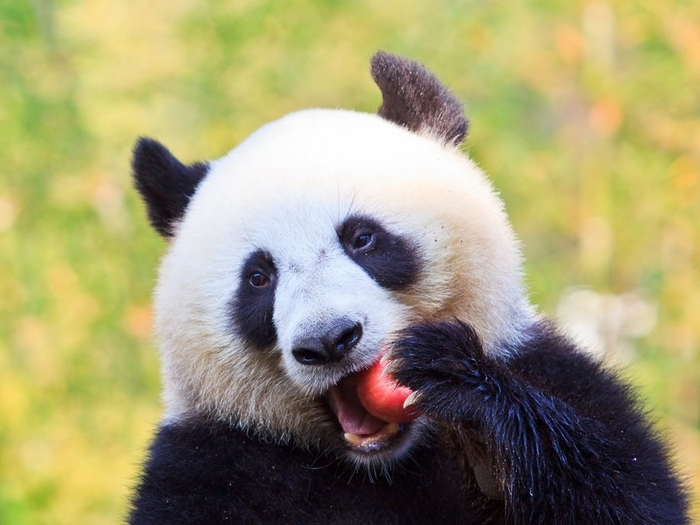 Вкусней бамбука