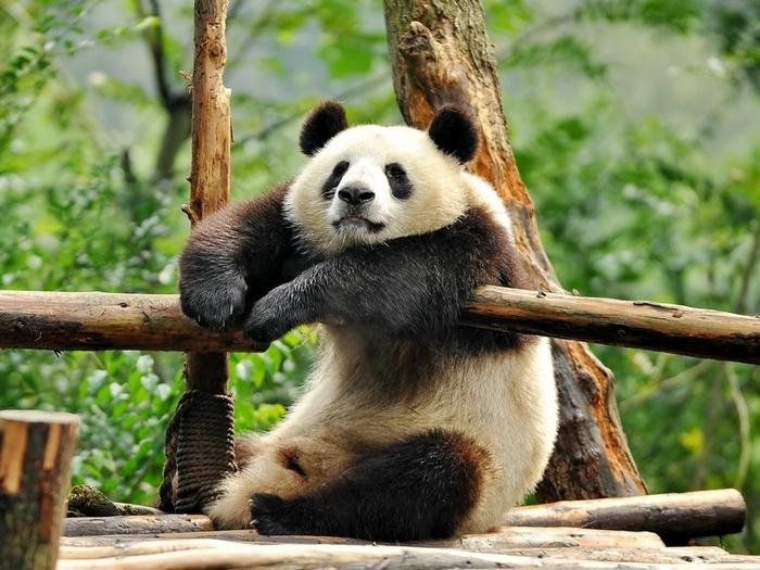 Мудрый панда