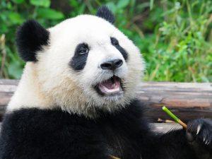Голос панды