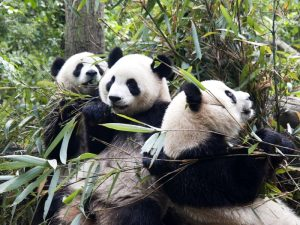 Дружелюбные панды