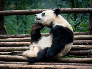 Как панда чешется