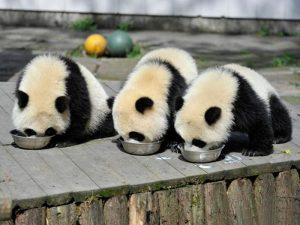 Обед у маленьких панд