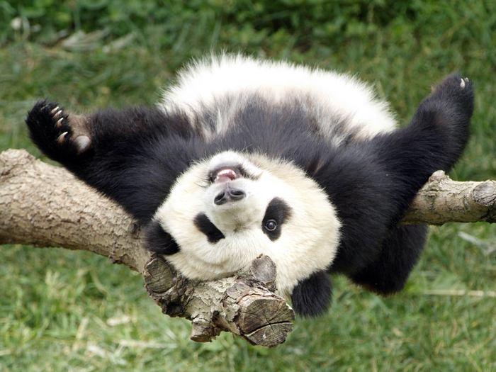 Развлечение панд