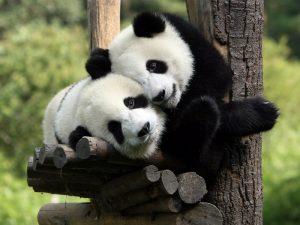 Очаровательные панды