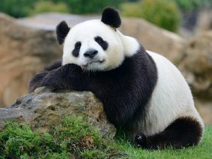 Сидячая панда
