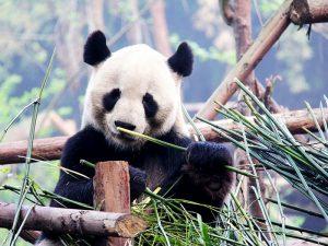 Съедобный бамбук