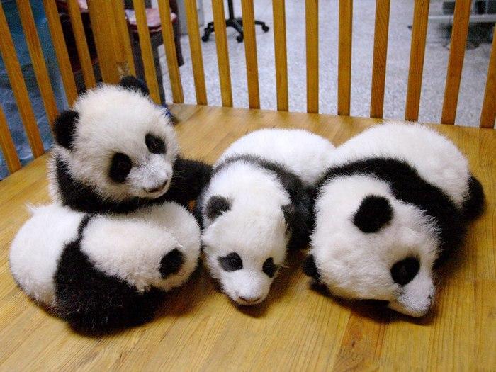 Панды в детском саду
