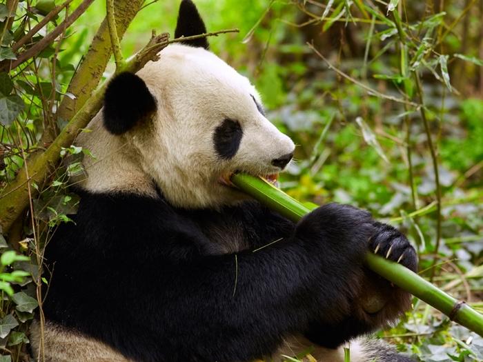 Бамбук по росту