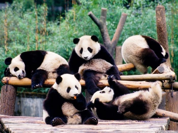 Будни панд