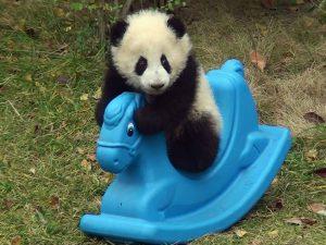 Малыши панд