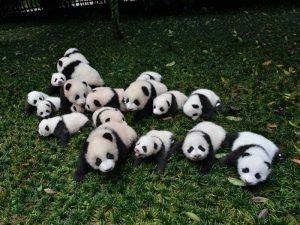 Маленькие панды на прогулке