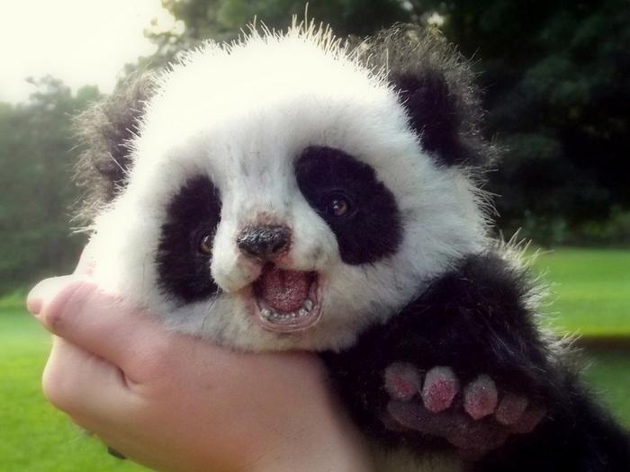 Детеныш панды на руках