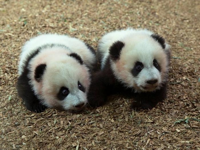 Детенышы панды на прогулке