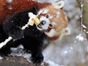 Как ест панда