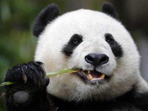 Интересные факты о пандах. 12 фактов о панде
