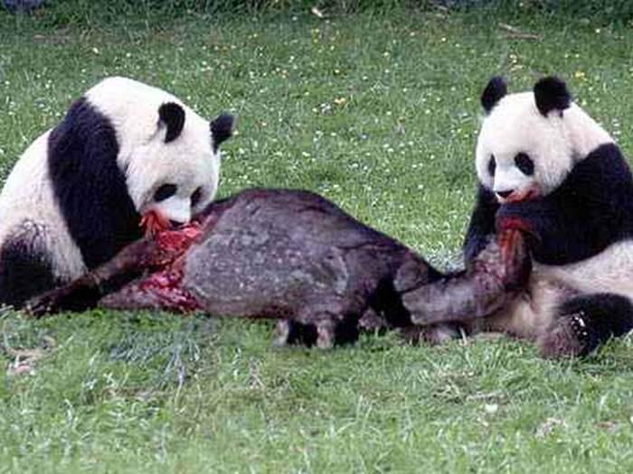 Панда хищник