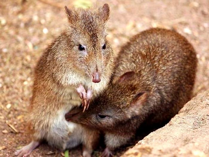 Пара кенгуровых крыс