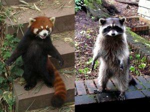 Панда и енот