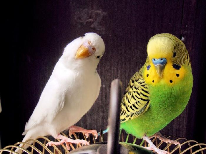 Пара разноцветных