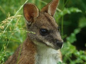 Parma-wallaby