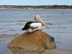 Пеликаны острова