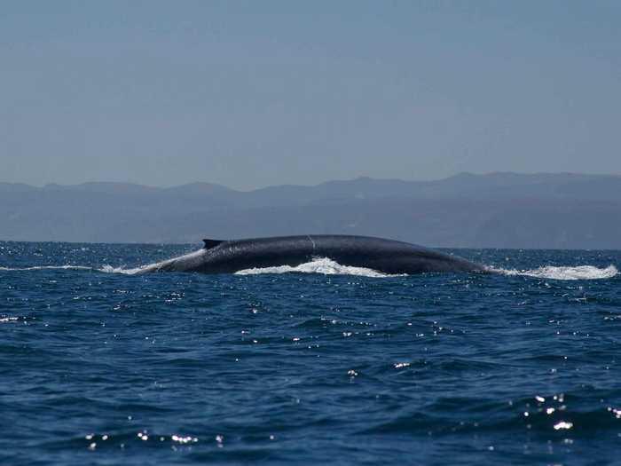Плавник голубого кита