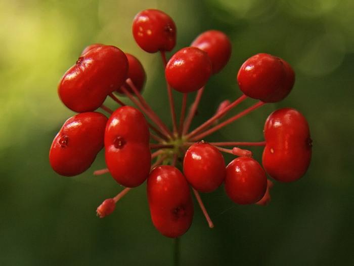 Плоды женьшеня