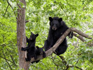 Черные медведи на дереве