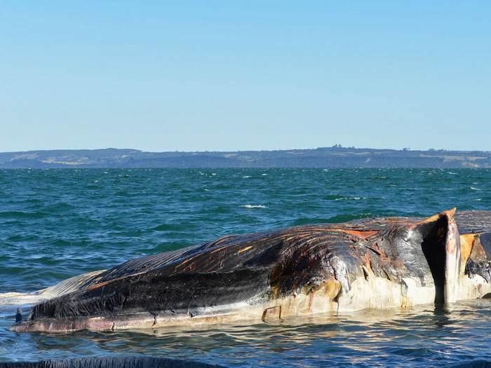 Погибший кит